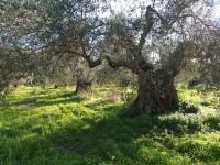 organic olive oil of Crete